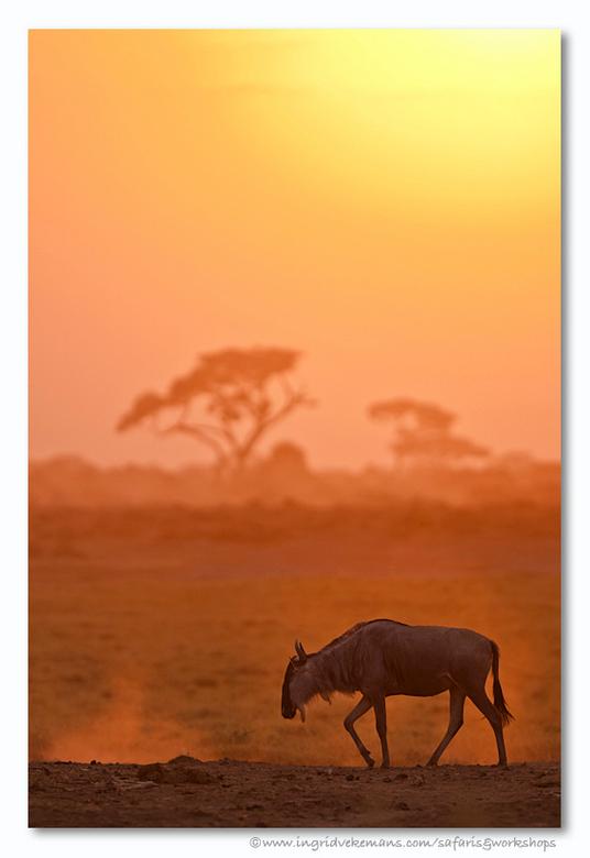 I Go To Sleep - De hele dag grazen de dieren op de Amboselivlaktes - tegen de avond aan trekken ze allemaal weg daar en zoeken ze de struiken op. Ambo