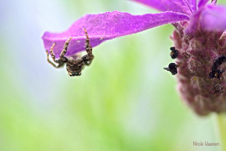 springspin - een springspinnetje in de lavendel in de tuin, prachtige ogen hebben die beestjes.<br /> Dank jullie voor je reacties op mijn vorige upl