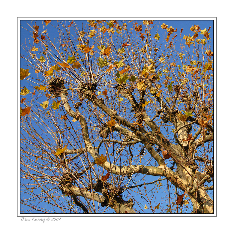 Plataanboom
