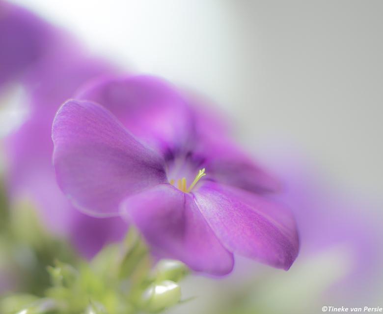 Softley Purple