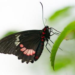 Vlinder II