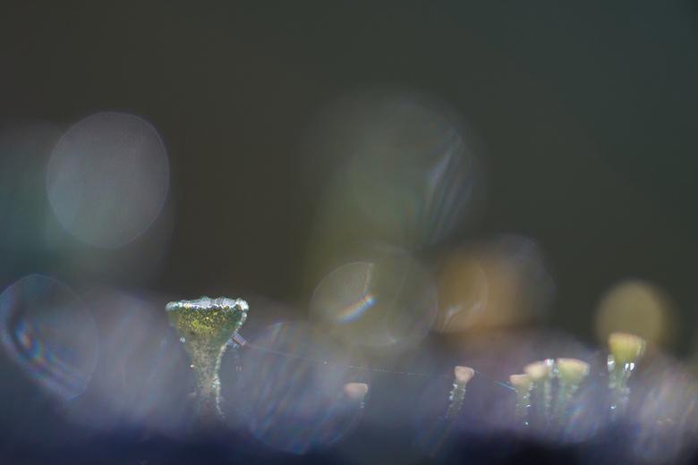 Bekermos - Bekermos op een mooie herfstochtend.<br /> Gespeeld met diagrafma en dauwdruppels.