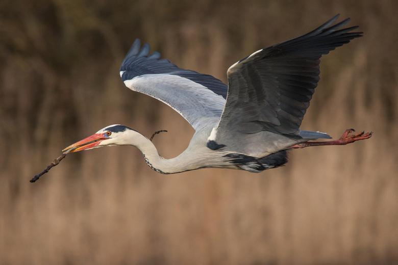 blauwe reiger - Deze blauwe reiger kwam elke keer de zelfde route afleggen, om takken te halen voor zijn nest.   Wat een prachtige vogel is het toch i