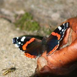 Vlinder in de achtertuin