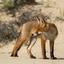 Jong vosje, waakzaam