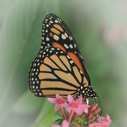 Vlindertje soft