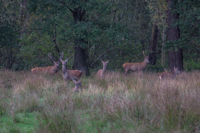 edelhert en zijn ro - edelhert bok en zijn roedel in het groene woud