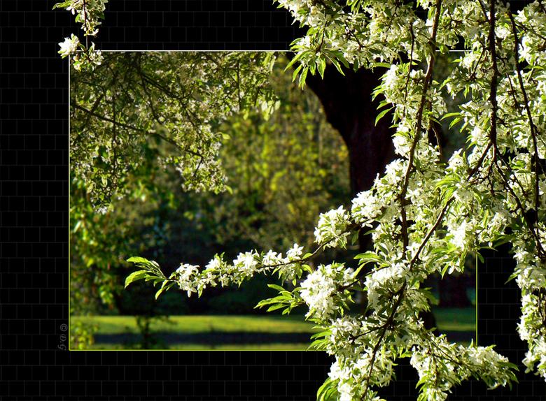 Natural White - Wanneer de boom op zijn tijd, zijn witte bloemetjes laat zien en het zonnetje komt erbij is het een schitterend schouwspel.<br /> <br