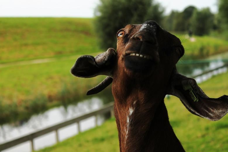 I'm so fancy! - Fancy geitje op de kinderboerderij  bij mij in de buurt.<br /> <br /> Fotoinzending voor Foto van het Jaar: Dieren