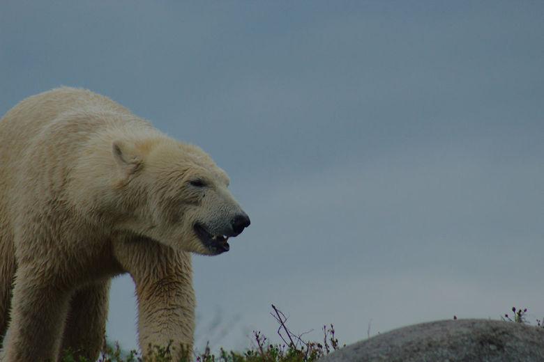 ijsbeer -