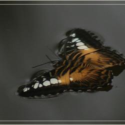 Verdronken vlinder 2