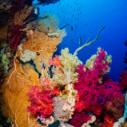 Onderwater zachte koralen