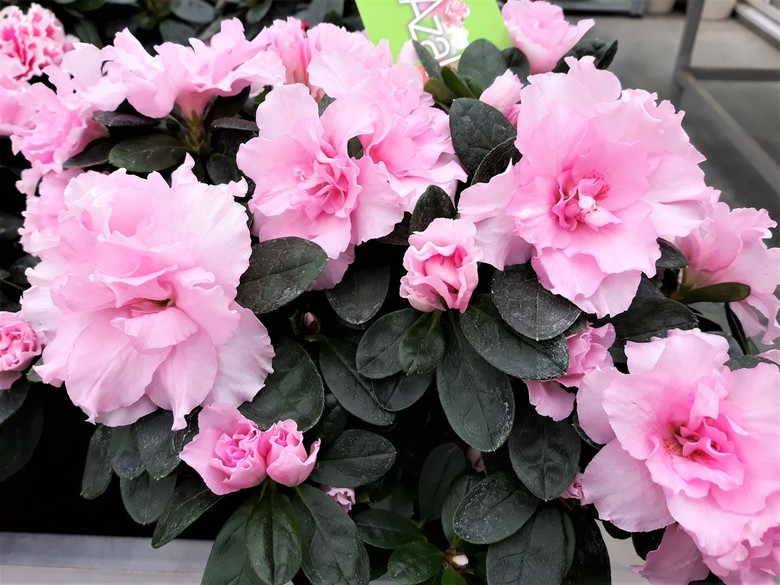 20200831_141357 PINK RIBBON nr13   tuincentrum  - Hallo Zoomers , GROOT kijken en even lezen . Vandaag plaats ik Na het  Pink schuitje weer een Pink B