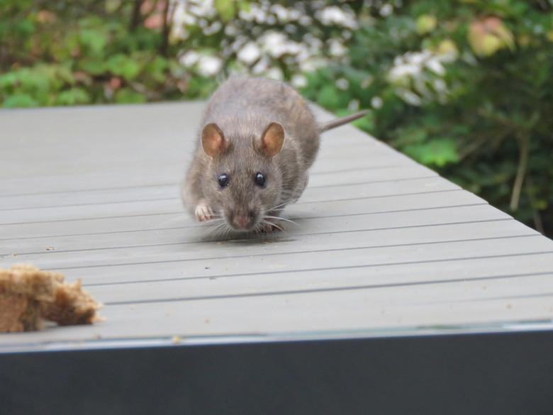 Bruine rat komt smullen - Een bruine rat lijkt wel te zweven boven de tafel. De diertje vond het brood erg lekker en kwam dus vaak op bezoek.