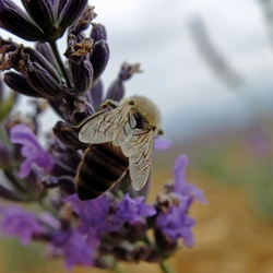 Lavendel bij