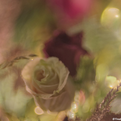 dreaming roses