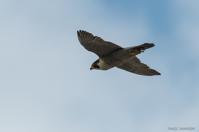 Slechtvalk - Slechtvalk - Peregrine falcon