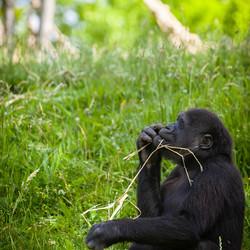 gorilla in gedachte verzonken