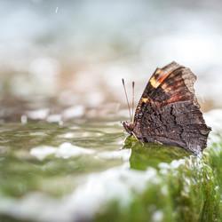 (Bijna) Verdronken vlinder...