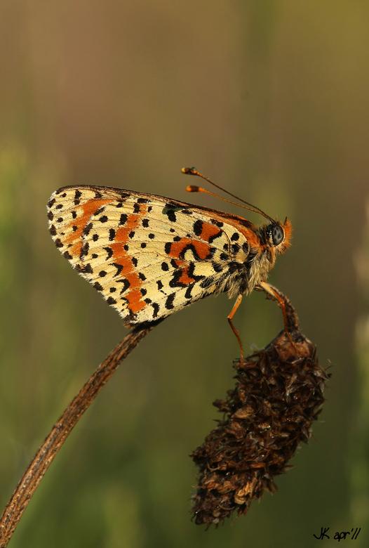 Tweekleurige Parelmoervlinder - Dit is een tweekleurige Parelmoervlinder, prachtige vlindertjes zijn het, deze is gefotografeerd aan de Moesel.<br />