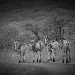 Zebra billen