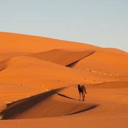 Eenzame dromedaris in de woestijn