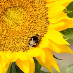 Delicious sunflower