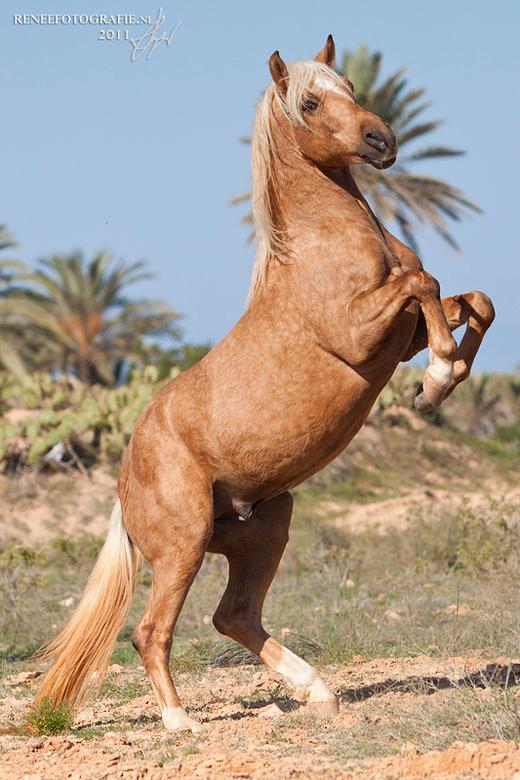 Palomino berber hengst - een prachtige jonge berberhengst die even wil laten zien wat hij allemaal wel niet kan