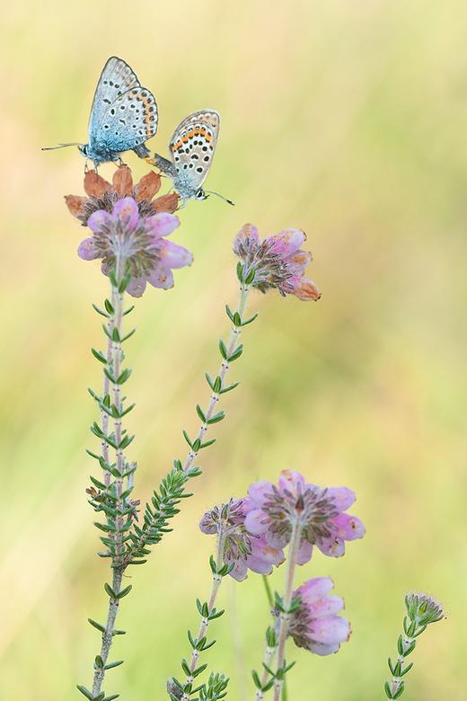Love on Top! - Binnenkort begint het macroseizoen weer. Hier nog een foto van parende Heideblauwtjes van vorig jaar. Kan niet wachten tot het weer zov