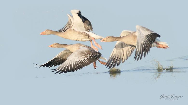 Ganzen landing - Landing van een aantal ganzen in de groene jonker