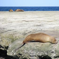 Zeeleeuwen in Argentinie