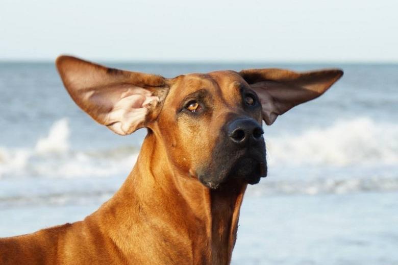 Oren in de wind - Tijdens een winderige wandeling op het strand van Hoek van Holland, stond Thimba naar een vlieger te staren, toen de wind onder zijn