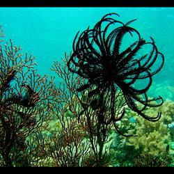 Ster & koraal