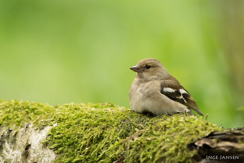 Mevrouw Vink rust even uit - Common Chaffinch - female