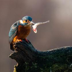 IJsvogel die prooi doorboord