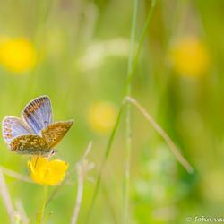 Icarusblauwtje op bloem