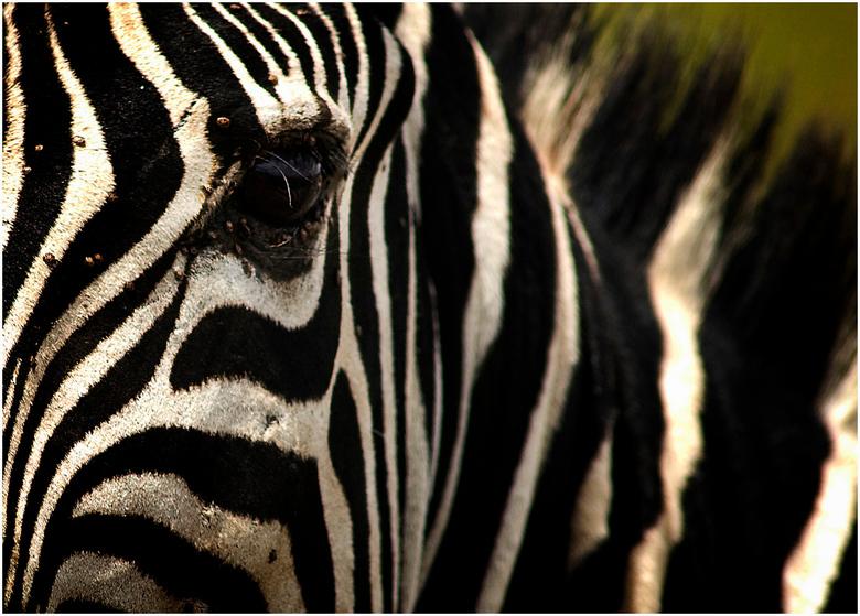 Portret Zebra - Serengeti NR - Tanzania - Bij deze shot kwam de Zebra mooi dichtbij en was het mogelijk om deze compositie in beeld te brengen.