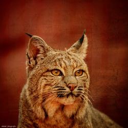 Lynx ..