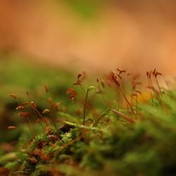 bloemetjes van het mos