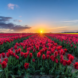 Sunrise between the red tulips