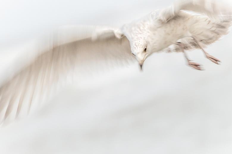In beweging - Zilvermeeuw met langzame sluitertijd gefotografeerd om beweging in de vleugels te zien.
