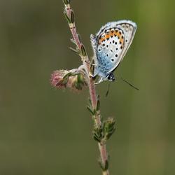 Heide blauwtje