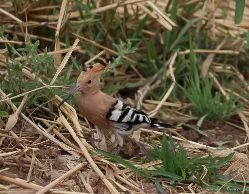 Ik heb een niet allerdaagse zeldzame Hop vogel gespot !!!! - Deze prachtige mooie Hop vogel met ze waaierkuif,zijn er bijna niet in Nederland. <br />