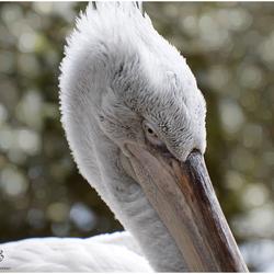 Kopportret van de kroeskop pelikaan