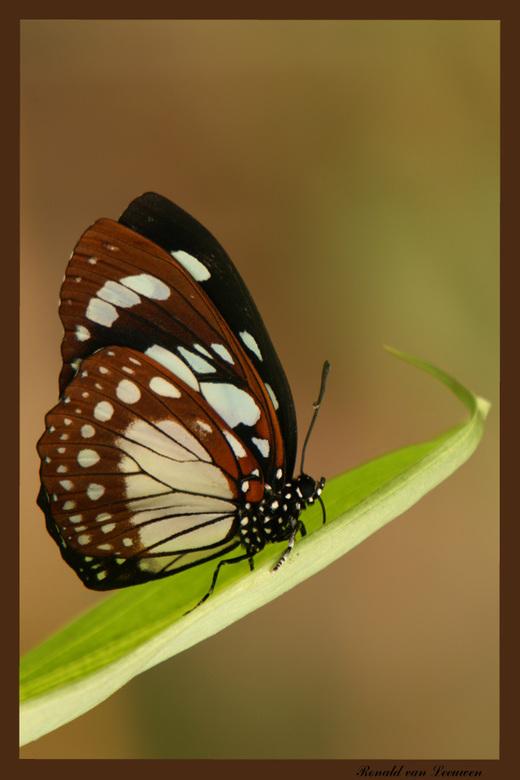 Euxanthe wakefieldi - Deze serie vlinderfoto&#039;s is gemaakt in de vlindertuin Knokke in Belgie.<br /> <br /> Bedankt voor de reacties op mijn vor
