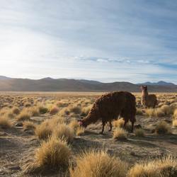 Lama's op de hoogvlakte in Bolivia