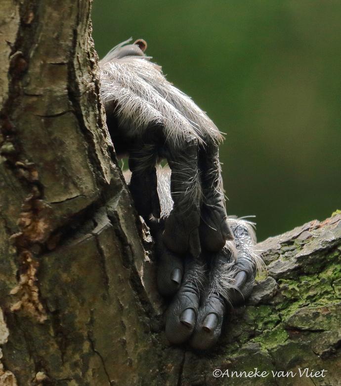Handen - van de Hanuman langoer (Semnopithecus entellus)<br /> <br />