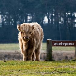 Schots Hooglanderskalfje