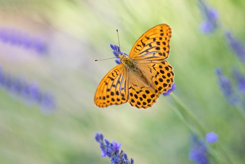 Kleine parelmoervlinder - Beste zoomers,<br /> <br /> Ik heb meegedaan aan de jaarlijkse natuurfotowedstrijd 2019 van het maandblad Roots.<br /> <b