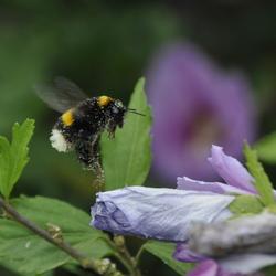 flying bee